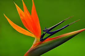 Bird of paradise picture